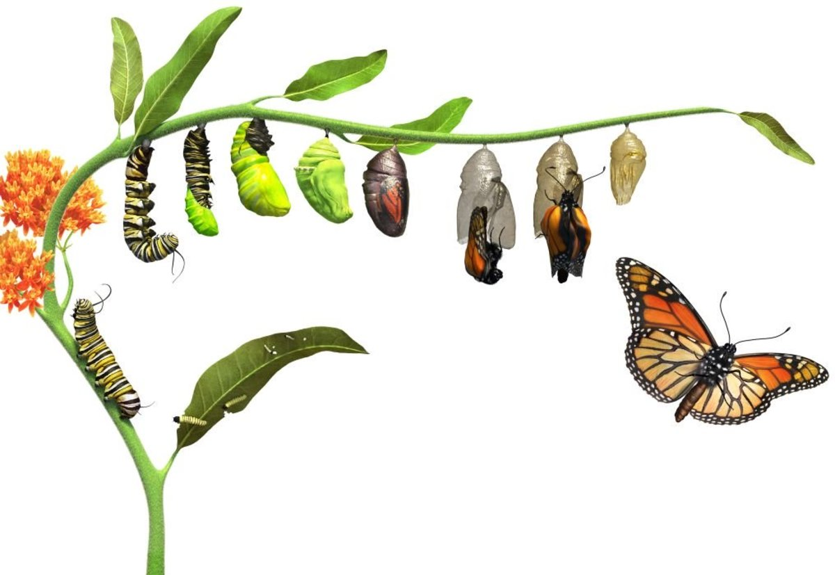 Why Do Caterpillars Turn Into Butterflies