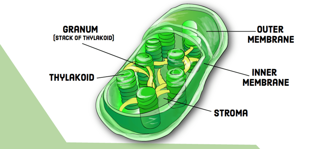 chloroplast diagram with labels 97 ford expedition radio wiring compare and contrast chloroplasts mitochondria owlcation