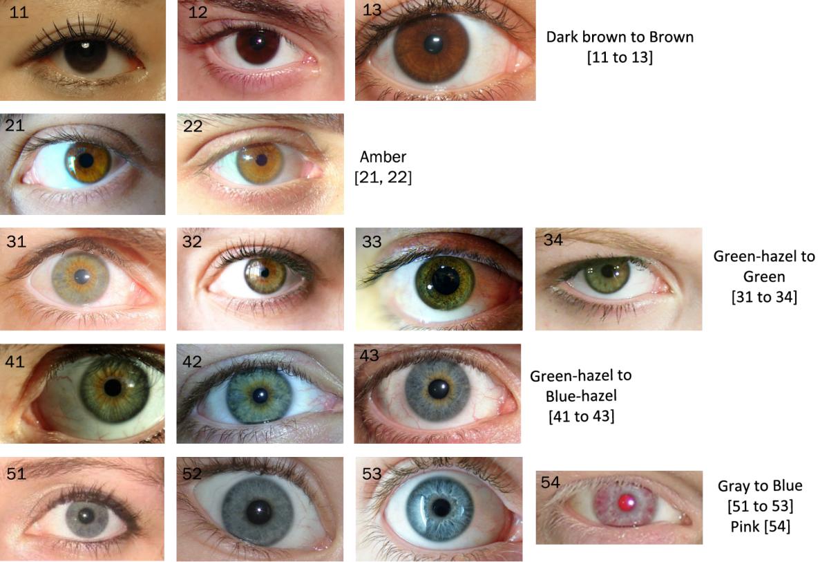 Hazel Eye Color Genetics Chart