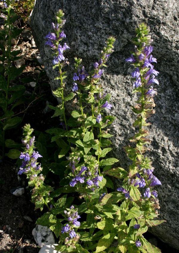 Wild Flowers Great Blue Lobelia Dengarden