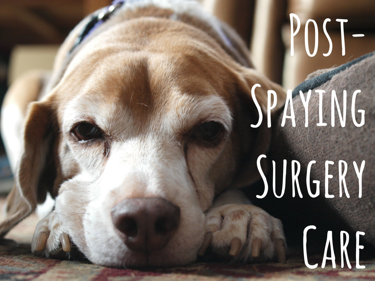How to Care for Dogs After Spaying Surgery  PetHelpful