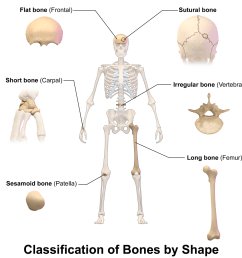 interesting and surprising facts about the human skeleton [ 1024 x 1024 Pixel ]