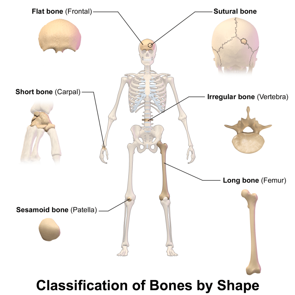 medium resolution of interesting and surprising facts about the human skeleton
