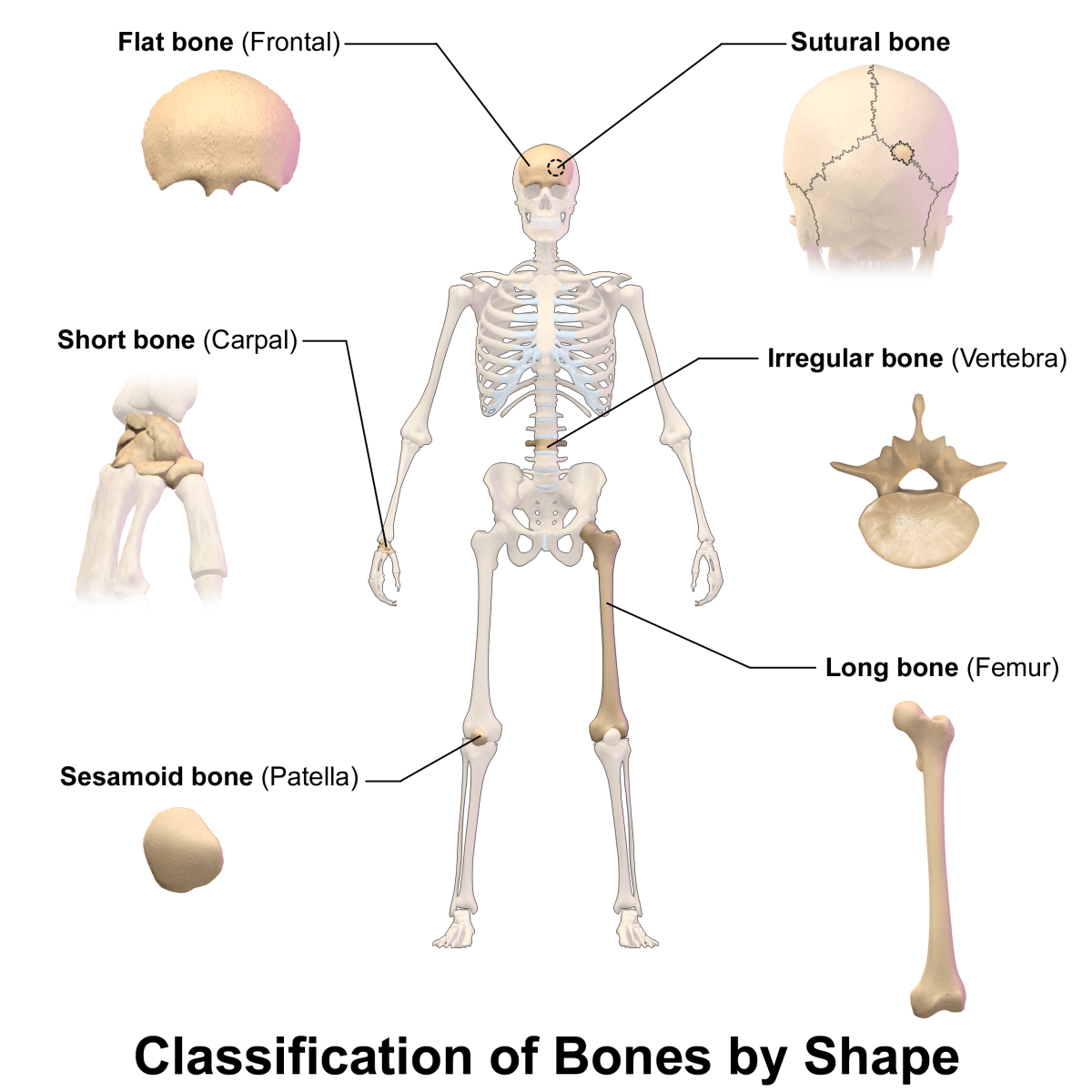 hight resolution of interesting and surprising facts about the human skeleton
