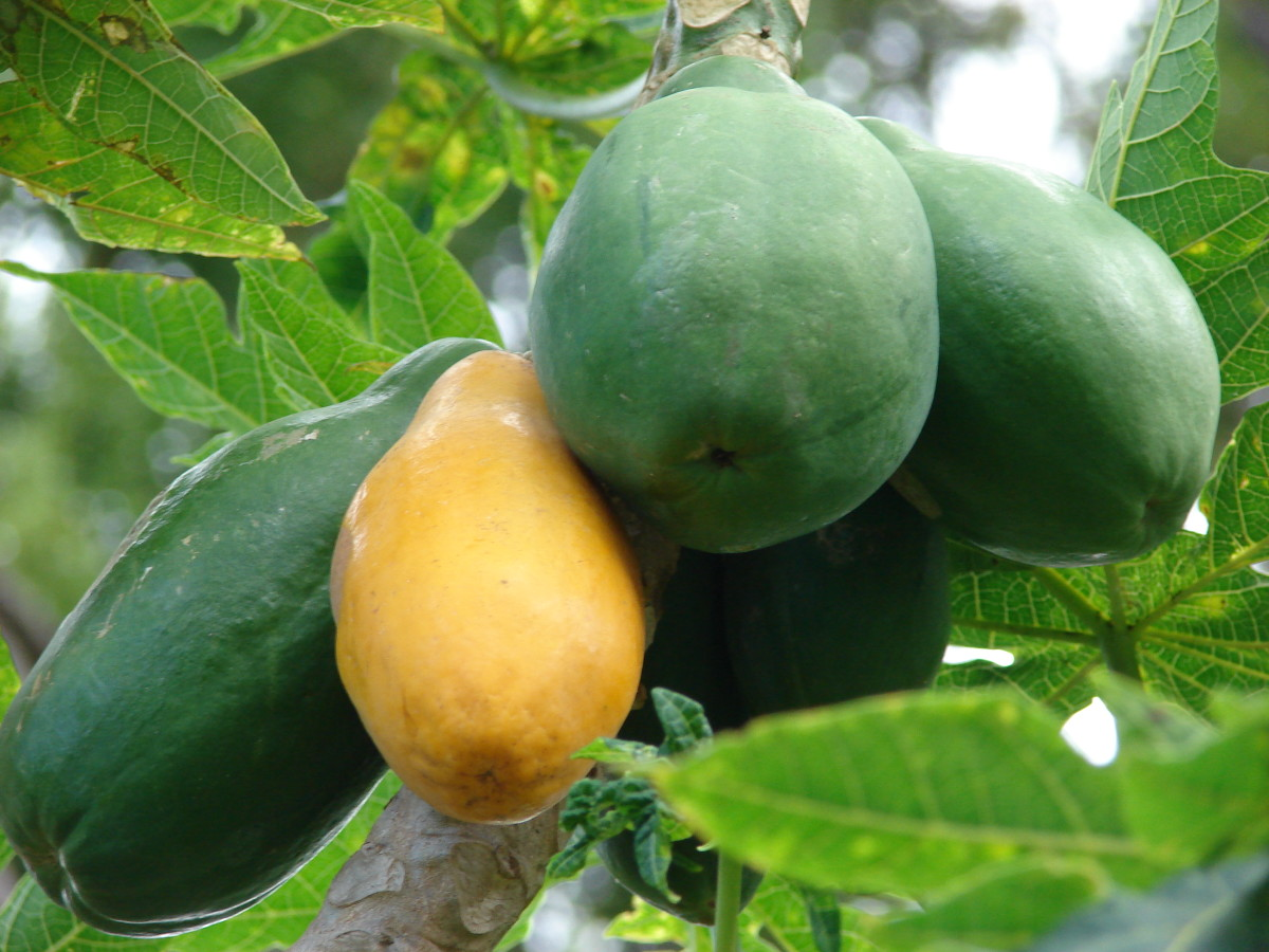 Papaya flesh comes in two varieties: deep orange and yellow.