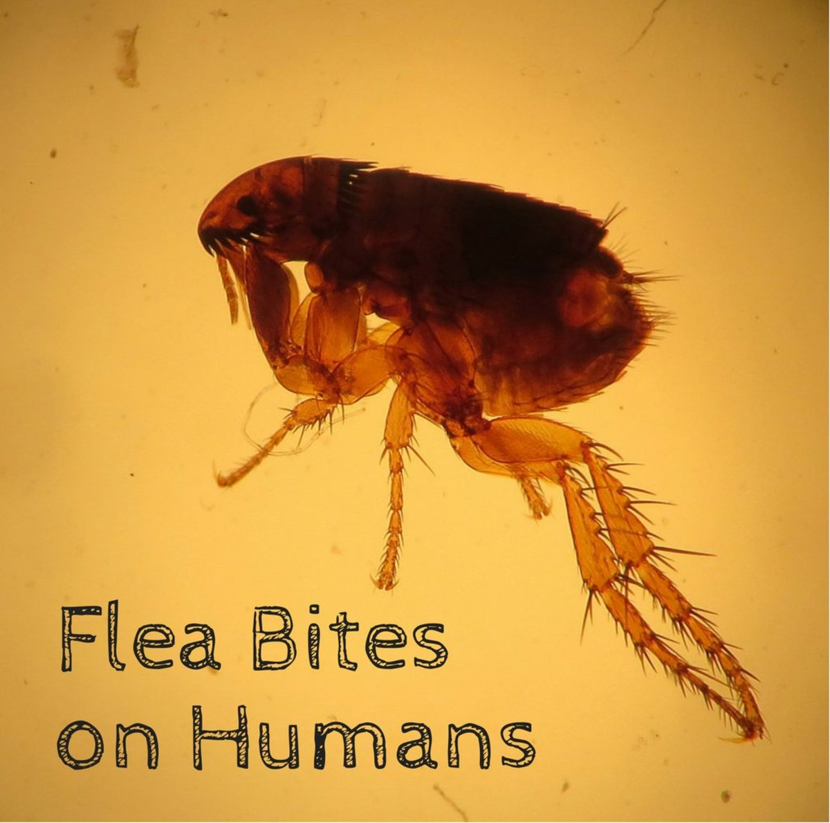 fleas in sofa no pets high seat sofas uk flea bites on humans symptoms and treatment dengarden cat ctenocephalides felis