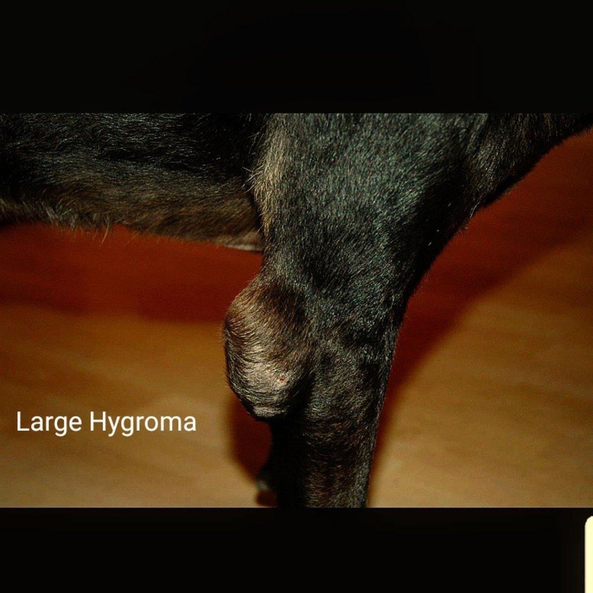 Dog Blood Blister Elbow Picture S