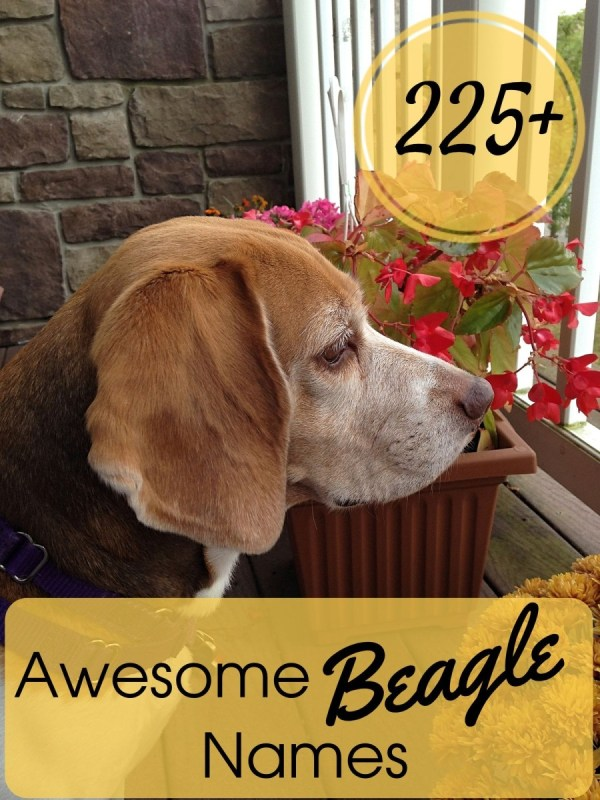Awesome Beagle Names Pethelpful