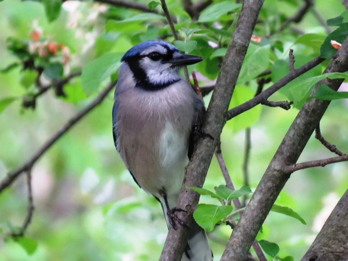 Blue Jay Facts, Pictures, and Behavior | Owlcation