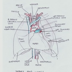 Human Heart And Lungs Diagram Pioneer Radio Wiring The Blood Flow Hubpages