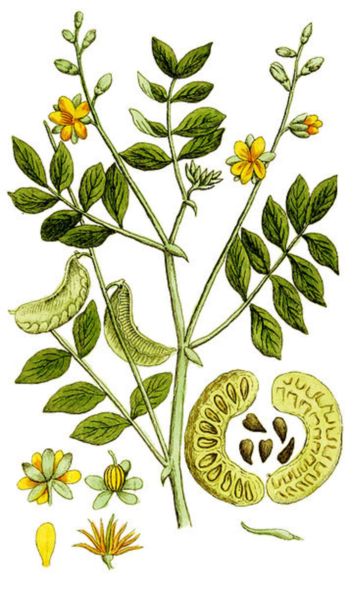 parts of a flower diagram trailer 7 pin plug wiring the benefits and side effects senna leaf tea | hubpages