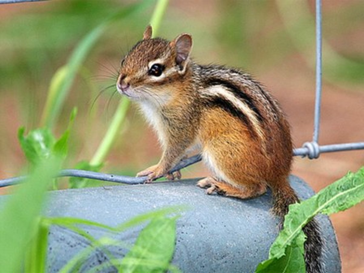 problem with pest chipmunks