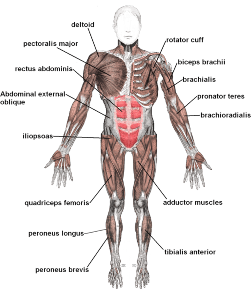 human muscles diagram labeled front and back three way switch wiring multiple lights muscular system what s the busiest muscle in body owlcation labeling on view image credit mikael haggstrom via