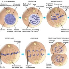 Stages Of Mitosis And Meiosis Diagrams Aav Vent Installation Diagram The Cell Cycle Metaphase Anaphase