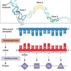 Simple Diagram Of Dna Replication G L Wiring Diagrams Protein Production: A Summary Transcription And Translation | Owlcation
