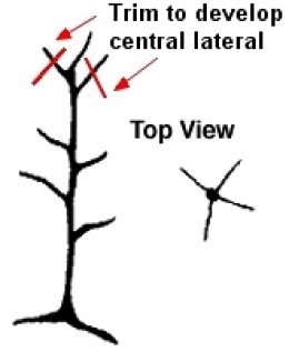 How to Espalier Apple Trees, Tips for Pruning, Multi