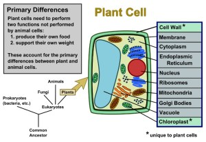 Plant Cells Vs Animal Cells (With Diagrams) | Owlcation