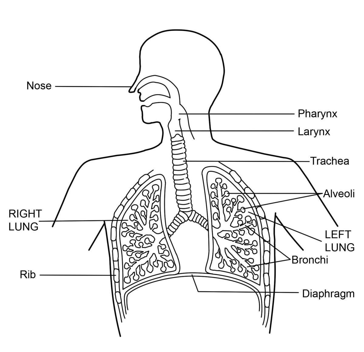 human respiratory system diagram unlabeled ez go wiring 48 volt what is the and function