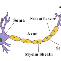 Basic Neuron Diagram Electricity Wiring Structure Of A | Owlcation