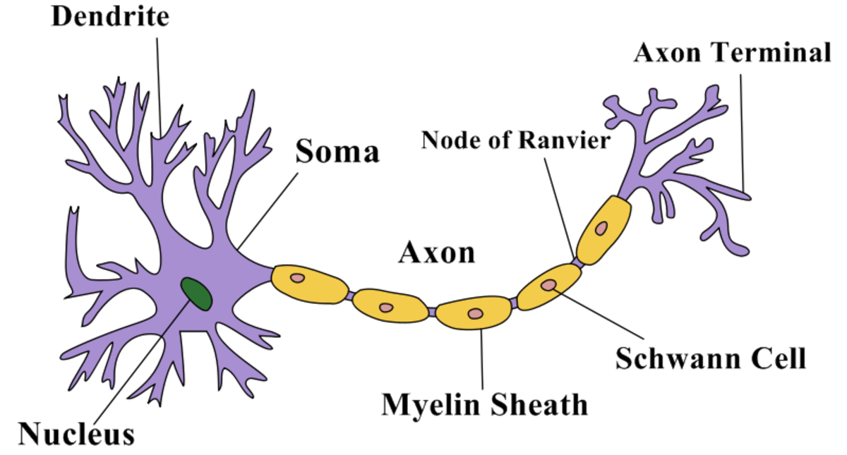basic neuron diagram system use case structure of a | owlcation