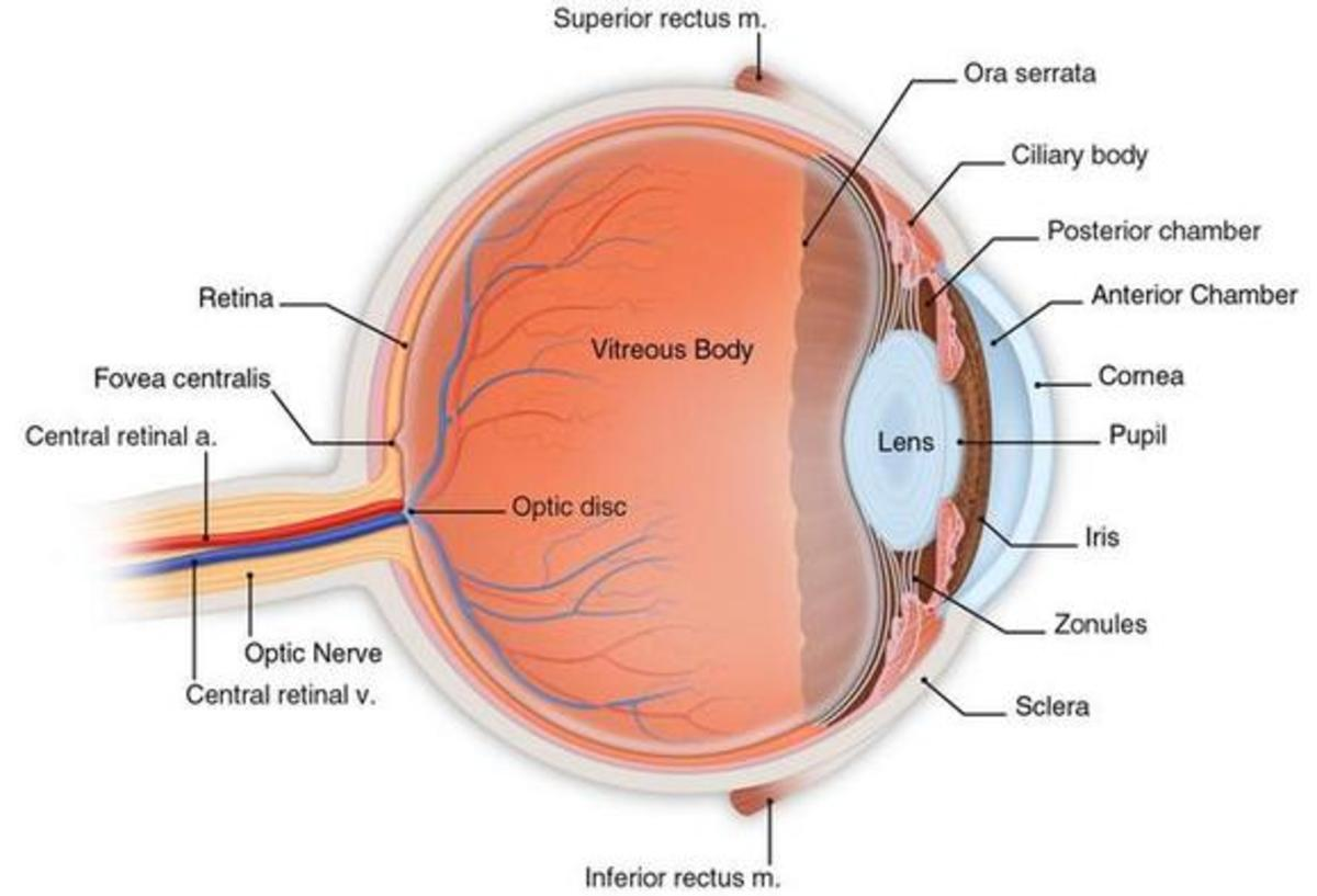 structure of human eye with diagram ashcroft pressure transducer wiring anatomy the owlcation cross section eyeball viewed from side