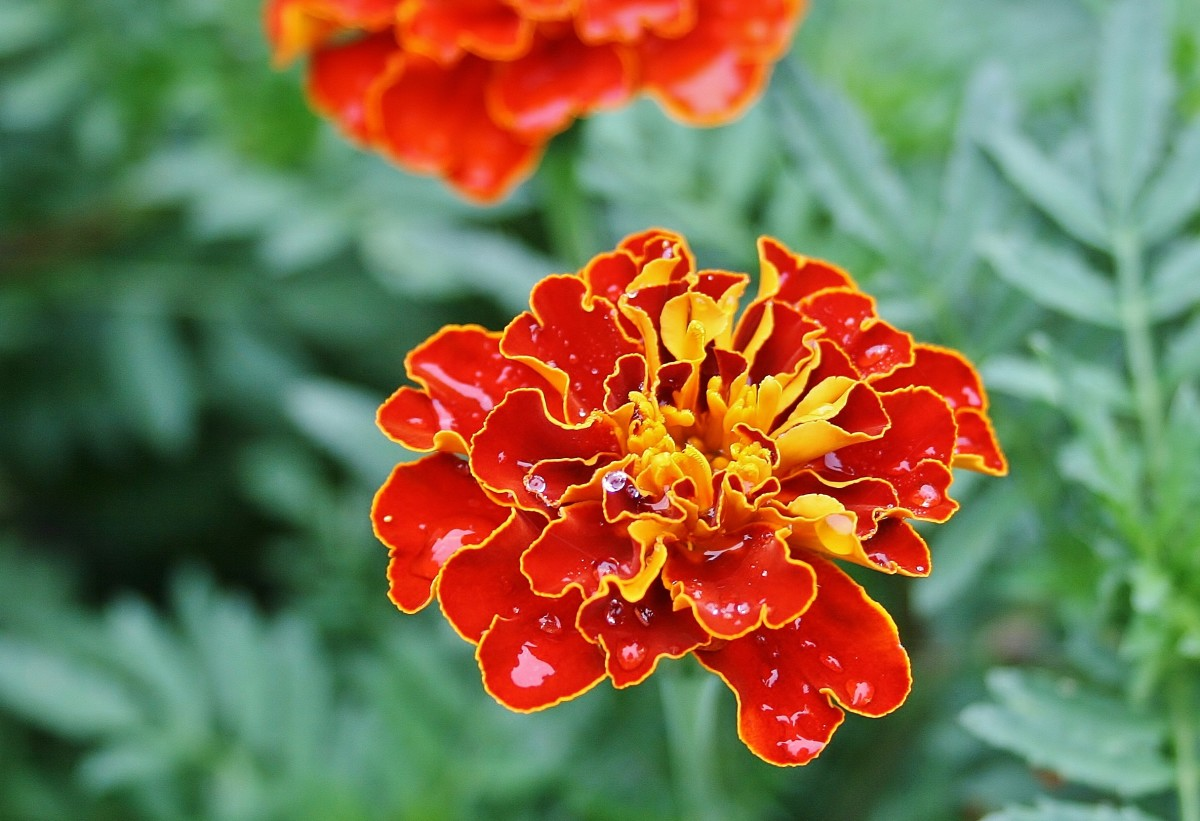 Easy Summer Annuals To Grow From Seed HubPages