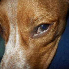 Canine Eye Diagram Right Star Delta Wiring Explanation Why Is My Dog S Third Eyelid Showing Pethelpful Also
