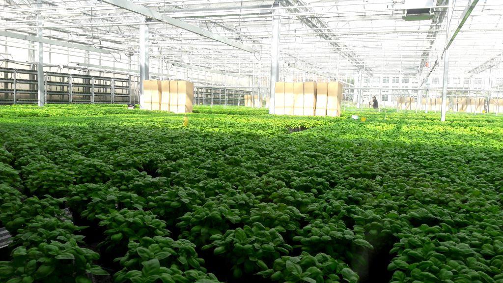 Urban-Farming-Basilikum bei ECF