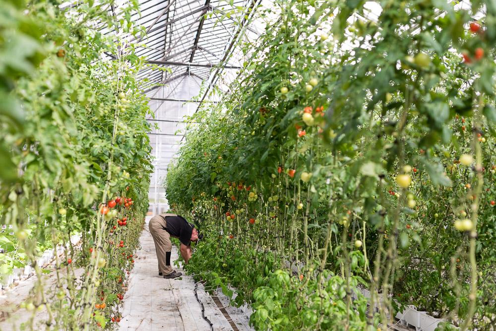 Tomatenanbau in der Stadtfarm Herzberge