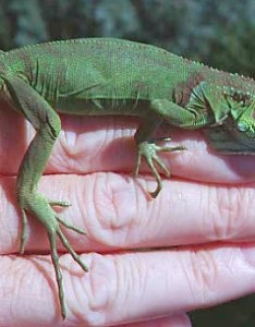 Note  now weigh over times as much when this picture was taken also home page of kiwi the baby iguana rh usersols