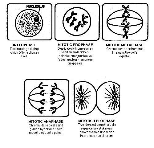 Mitosis Coloring Sheet Answers Layers Of The Earth