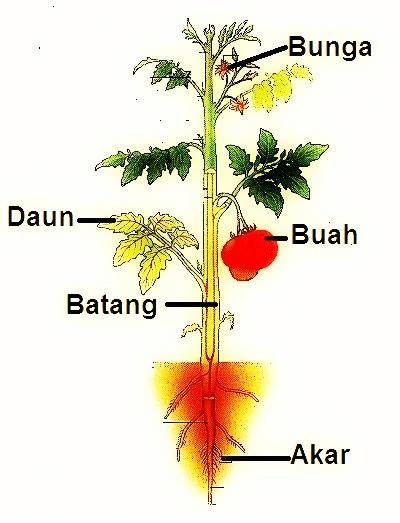 Struktur Daun Tumbuhan beserta Fungsi dan Penjelasan