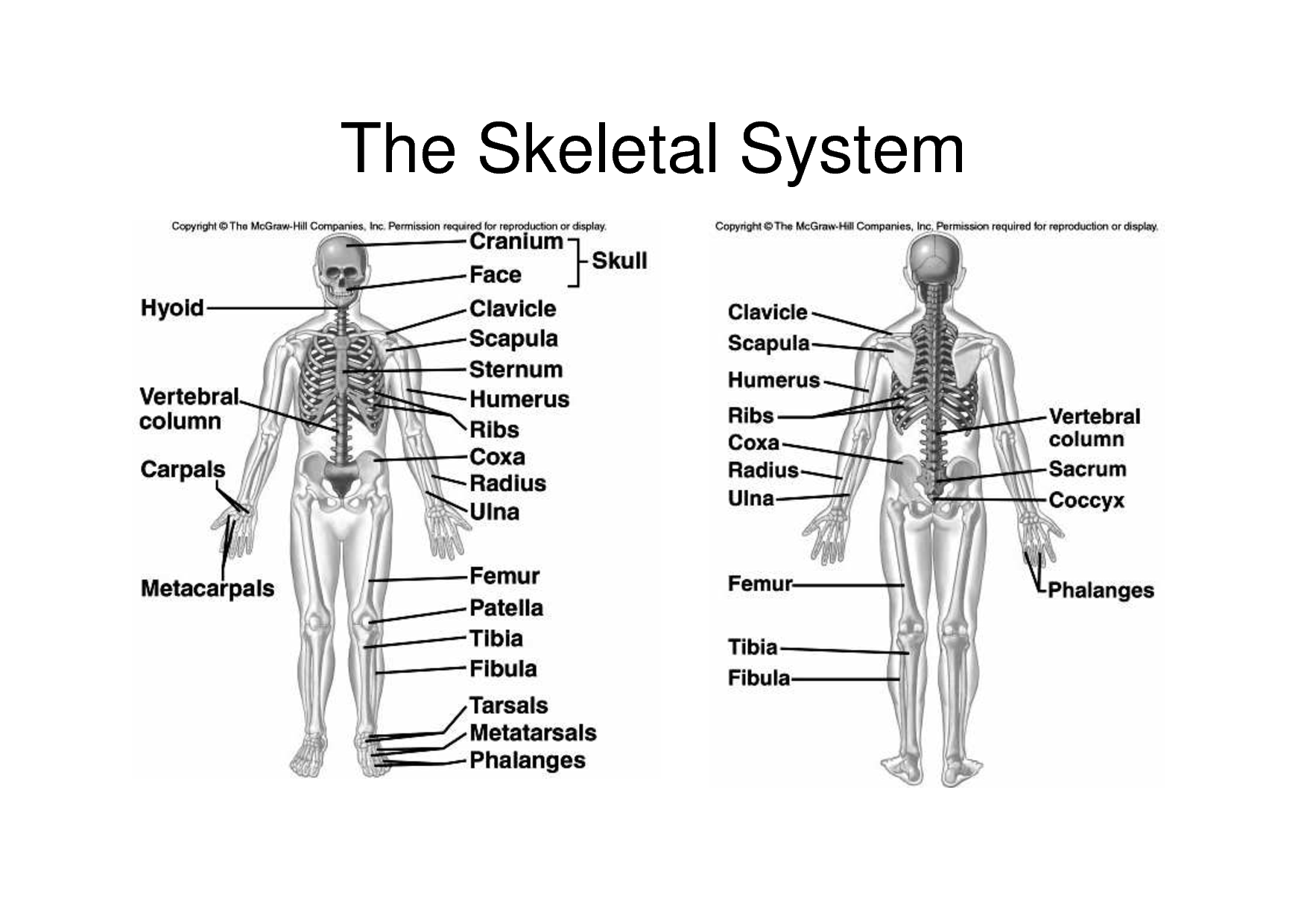 skeletal system diagram breakdown