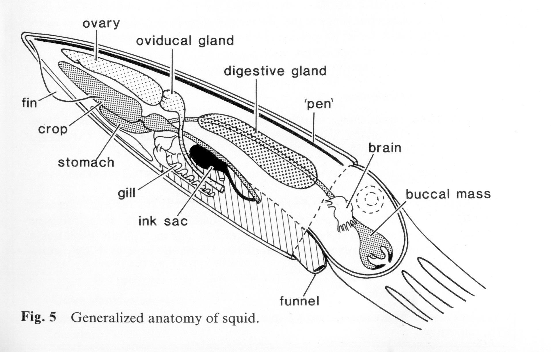 mollusca diagram labeled ford escape 2006 radio wiring biology presentation pptx by fikhrykiki96 on emaze