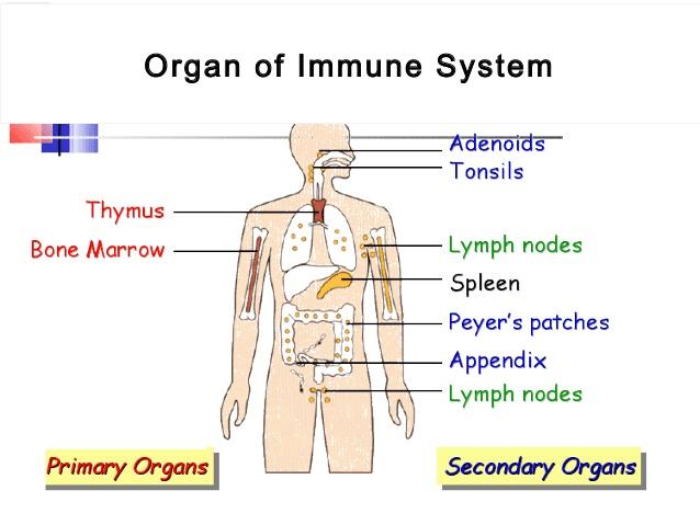 bone marrow cell diagram led light bar wiring rzr immune system copy1 on emaze