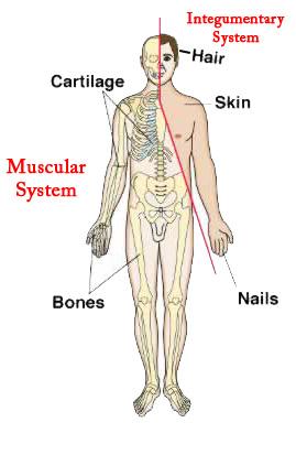 skin assessment diagram ski doo wiring diagrams muscular system on emaze