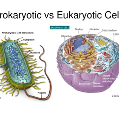 Eukaryotic Animal Cell Diagram 8 Foot Fluorescent Ballast Wiring Studying The Pptx On Emaze