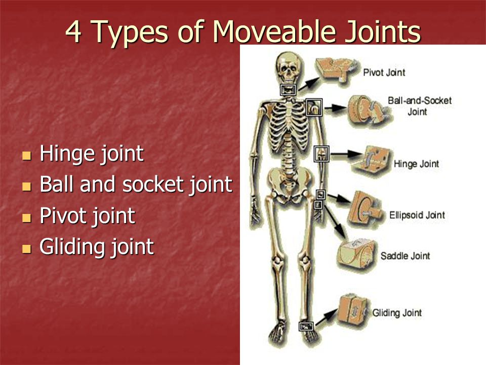 Amazing Saddle Joints Component Anatomy And Physiology Biology