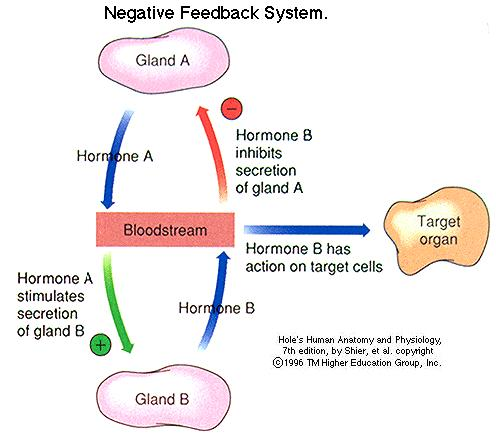 negative feedback loop diagram 98 mustang gt wiring endocrine system pptx.pptx on emaze