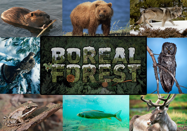 Animal extinction is a huge issue for the boreal forest biome. Boreal Forest Biome