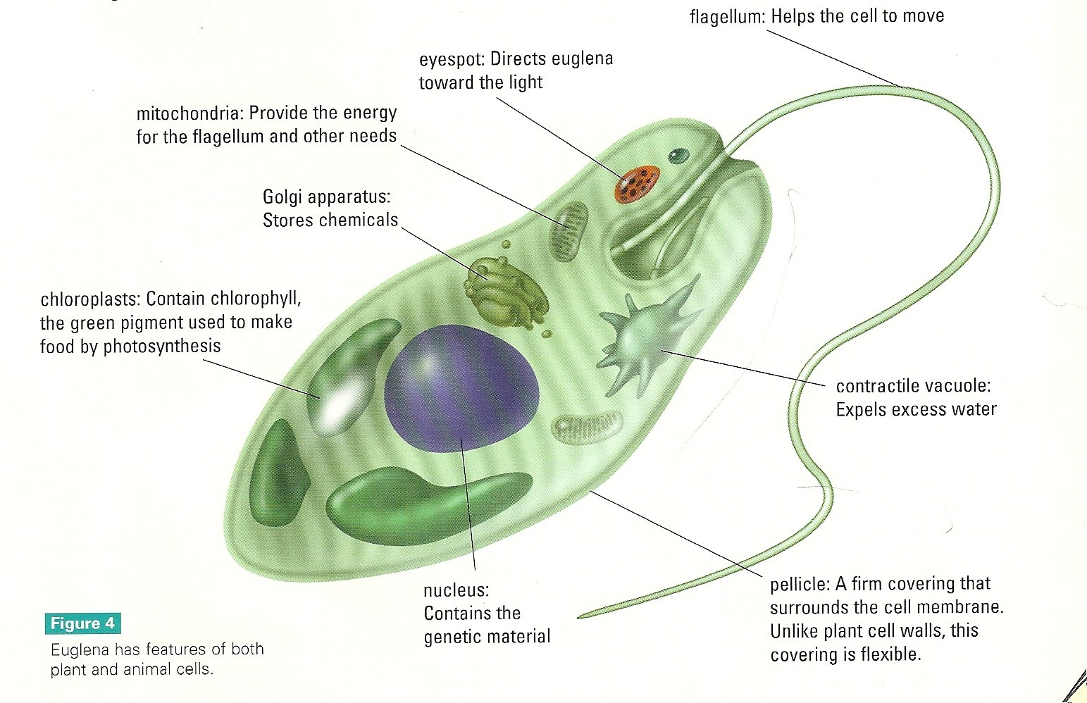 hight resolution of euglena cell diagram