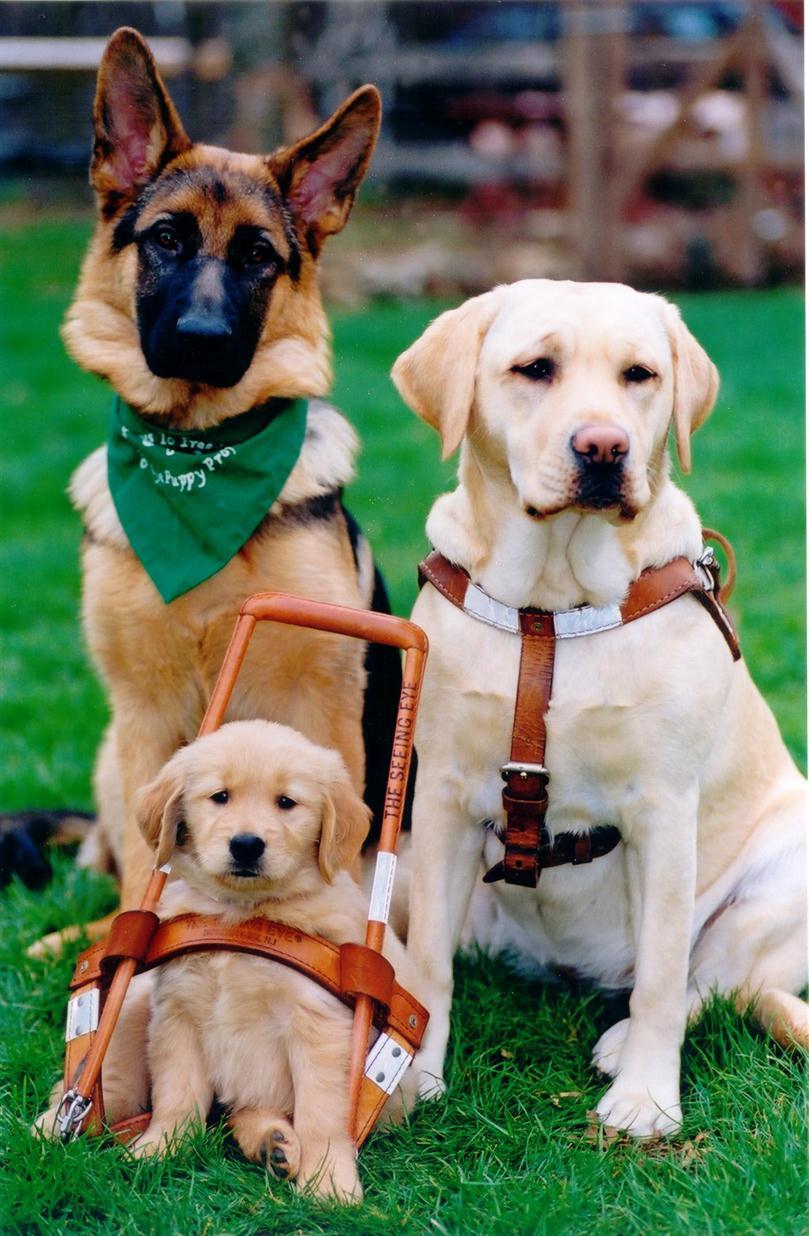 Seeing Eye Dogs Adoption Failed