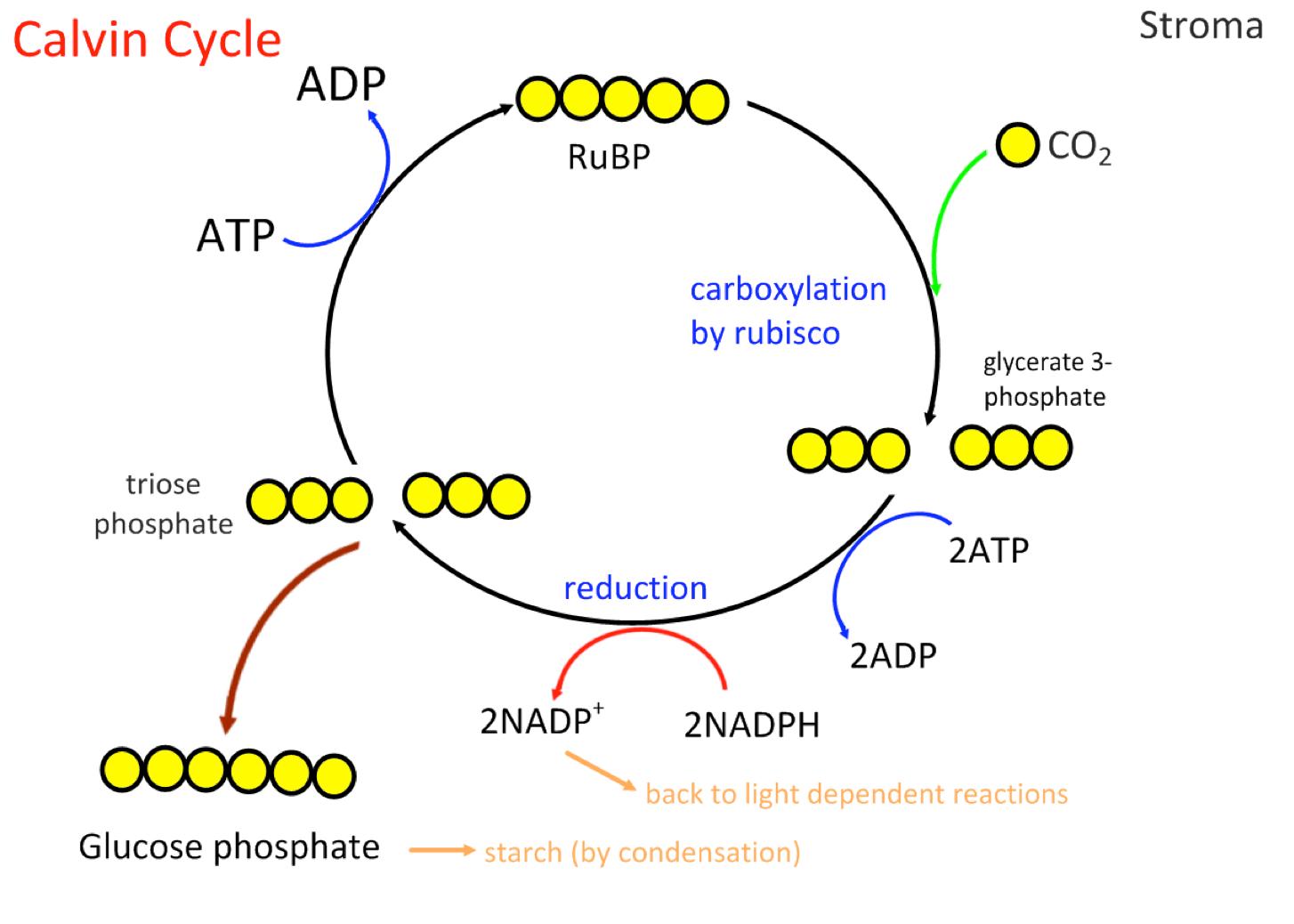 Photosynthesis On Emaze