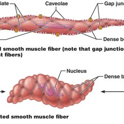 Human Muscle Cell Diagram Labeled Harley Turn Signal Wiring Smooth Tissue All Data Today