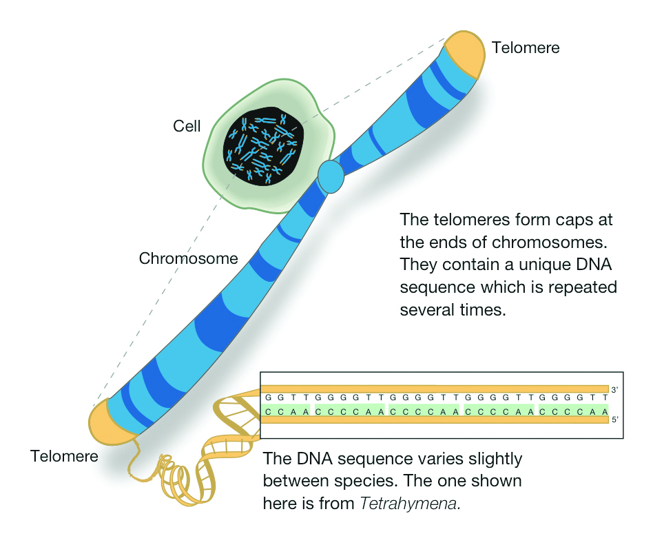 How does the DNA sequence change with distance from the telomere?   Socratic