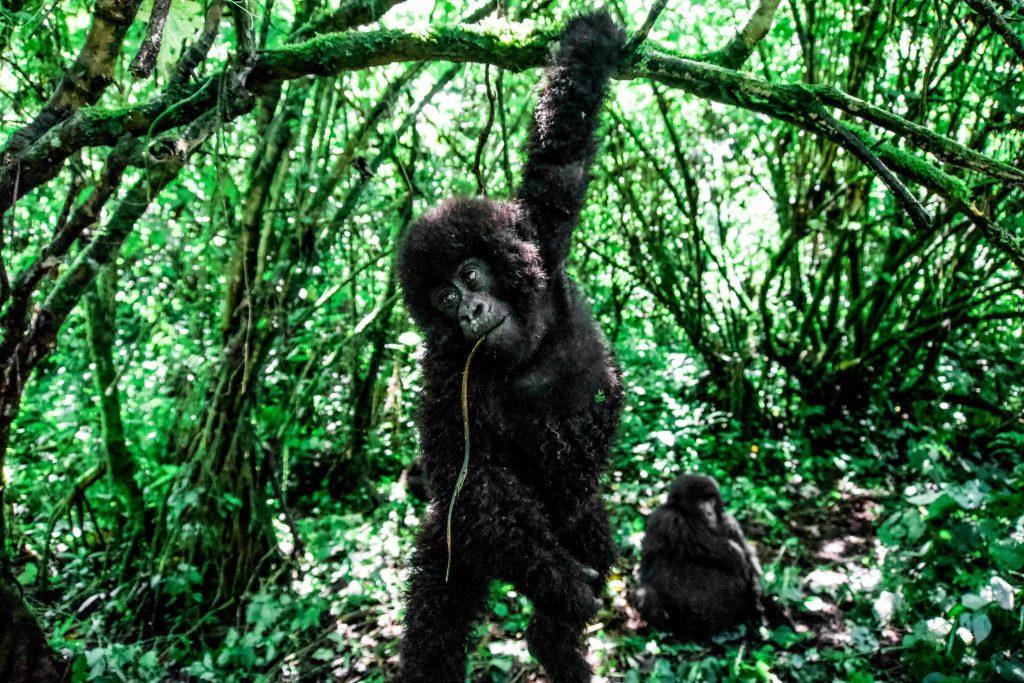 A lowland gorilla in Virunga National Park