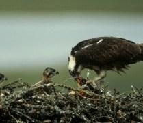 Another osprey! Credit: USFWS
