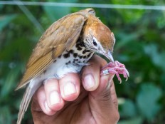 Wood thrush in Belize. Credit: Molly Sperduto/USFWS