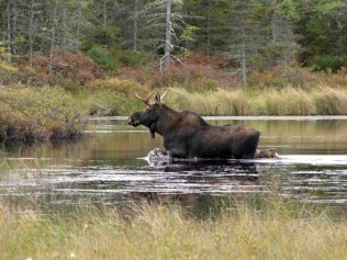Moose at the Conte Refuge's Nulhegan Basin Division in Vermont.