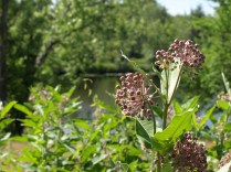 Common milkweed, the host plant for monarch caterpillars.